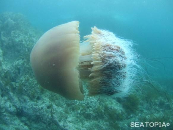 【韓国】毒性エチゼンクラゲが近海で大量発生、昨年の20倍増加
