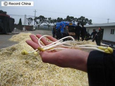 【中国】毒モヤシに毒ショウガ、ネズミ肉…各地で食品事故が多発