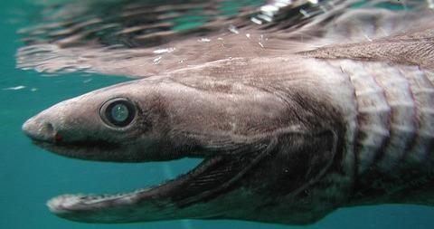 tokio 古代サメ捕獲 (4)