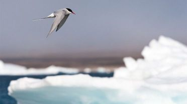 arctic-tern-migration_11855_990x742