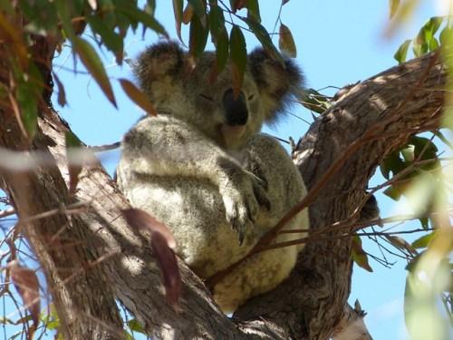 magnetic_island_koala3.jpg.jpg