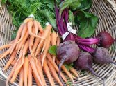 Fresh carrots and beets (Cancler)