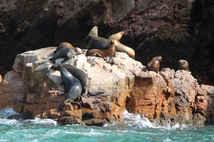 Sea lions at play, and rest