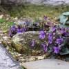 ビオラ・ラブラドリカ プルプレアの育て方【庭のグランドカバー草花】