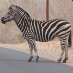 Zebra in the road.