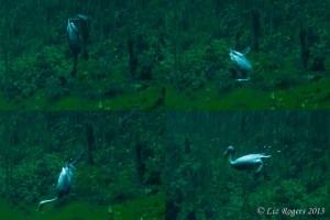 Diving birds in Ewen's Ponds