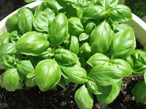 Surgeler ses herbes aromatiques
