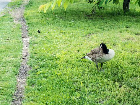 A Goose in Riverside Park