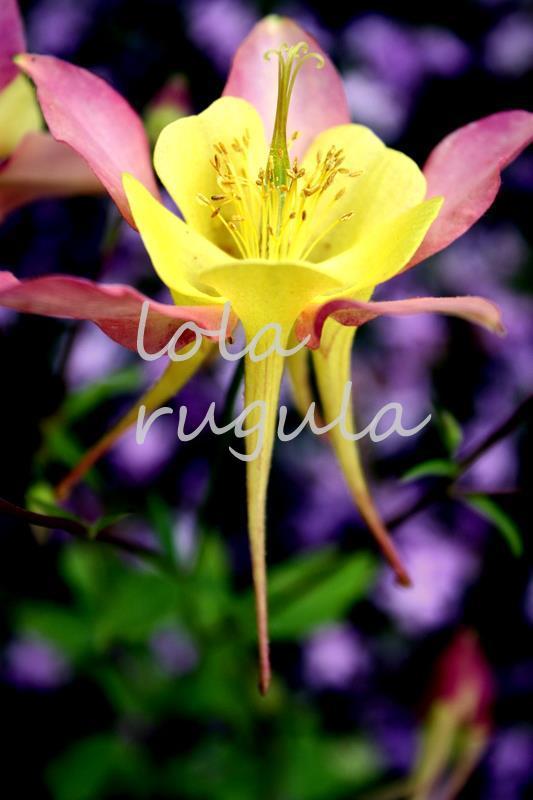lola_rugula_columbine