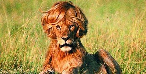 Lion Hair Style