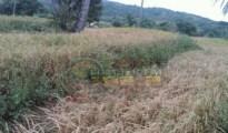 Kondisi padai di Desa Perigi Keamatan Suela, telah mengalami kekringan.