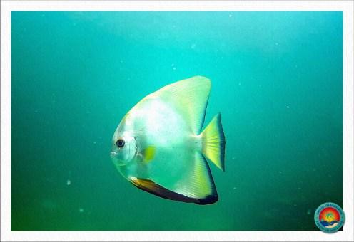 goldener Fledermausfisch
