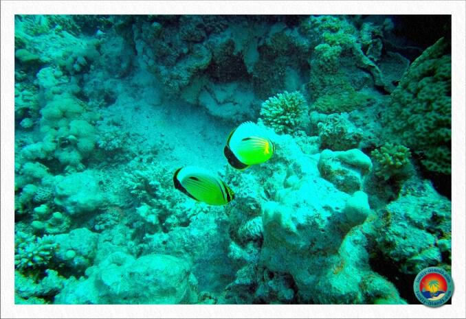 Rotmeer-Rippelstreifen-Falterfische