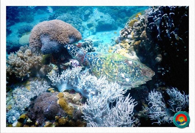 Unechte Karettschildkröte im flachen Wasser bei Apo Island
