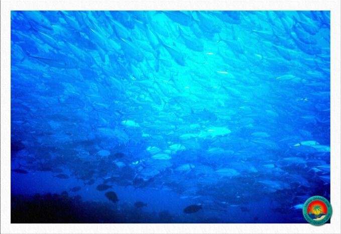 Makrelenschule auf der Ostseite Apo Islands