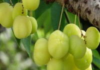 haircare-using-gooseberry-extract