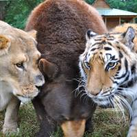 The Unusual Brotherhood Among a Bear, a Lion, and a Tiger