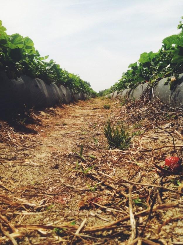 strawberry fields 1