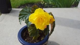 Begonia (8)