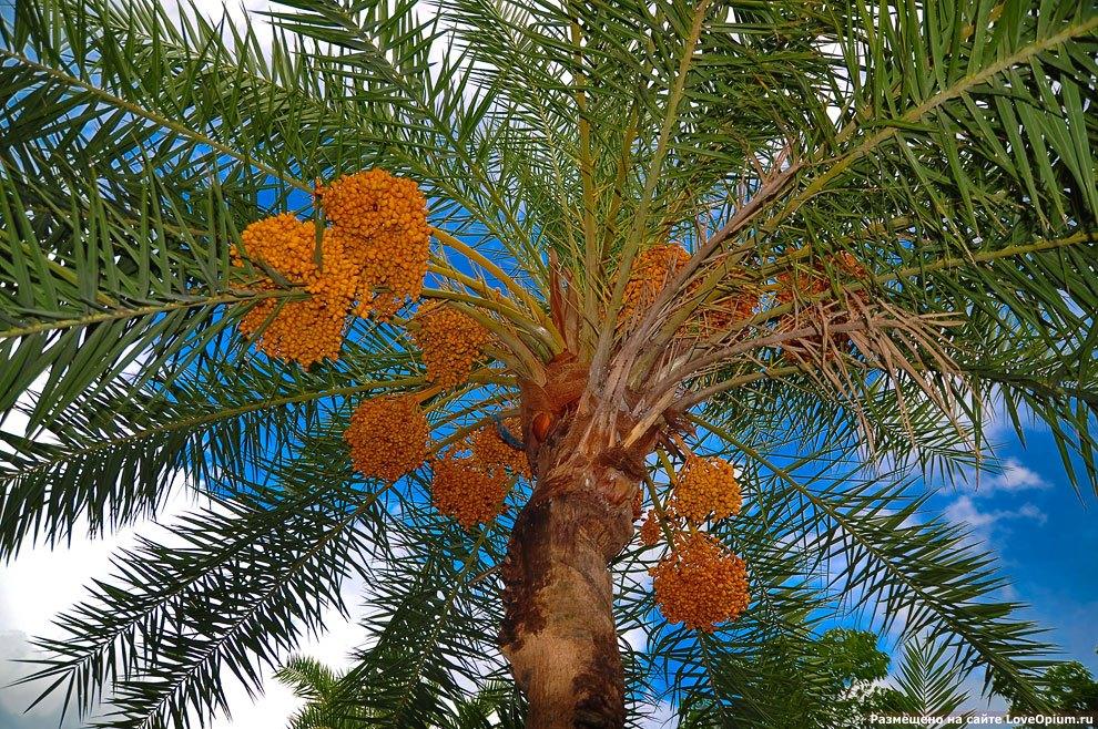 Как растет финиковая пальма