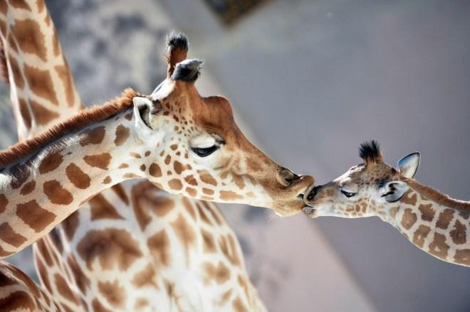 5-дневный жирафенок в зоопарке в Ла-Флешь, Франция