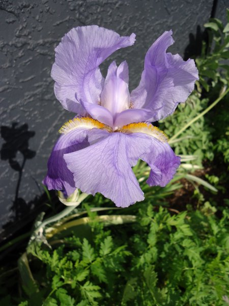 Sweet Iris