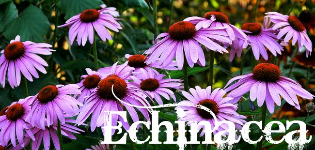 Echinacea: How to grow and use this powerful antibiotic and immune-stimulant