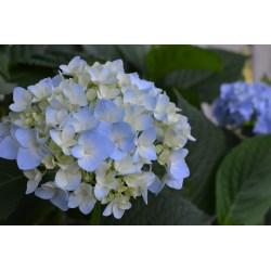Small Crop Of Blushing Bride Hydrangea