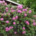 For Nora - our  Rhodie bush in the country