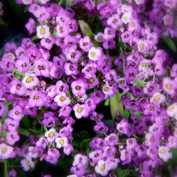 фото цветов алиссум