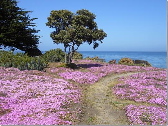 Pacific Grove iceplant 066