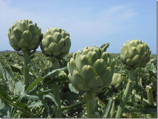 castroville artichokes 028
