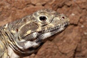 Blunt-nosed leopard lizard