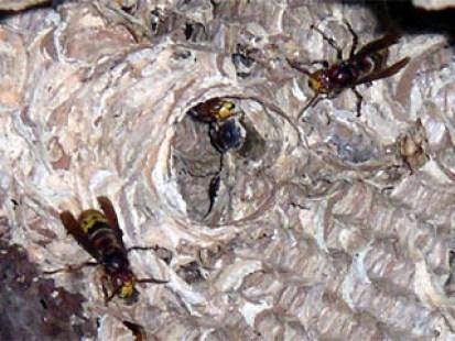 Hornissen verlassen ihr Nest