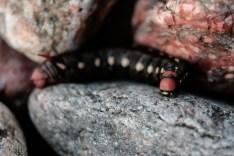 Matarakiitäjä - Hyles gallii (toukka)