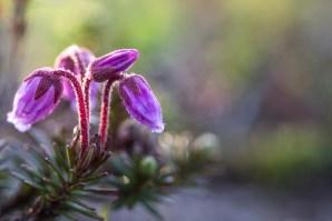 Kurjenkanerva - Phyllodoce caerulea