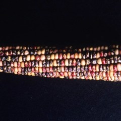 Genetic corn (By  Linda Bartlett, [Public Domain] via Flickr)