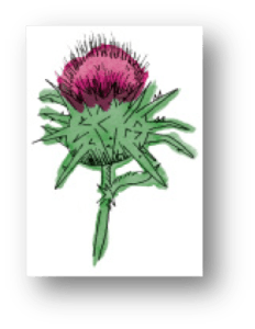 MFCthistle