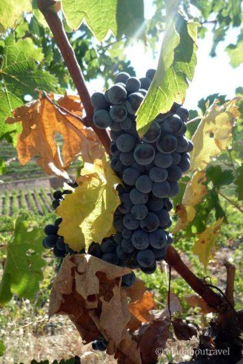 Uvas al sol en el Priorat