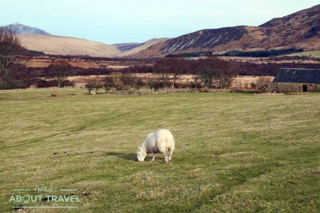 Una oveja en Machrie Moor