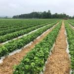 Pro Quadratmeter können etwa 2kg Erdbeeren geernet werden