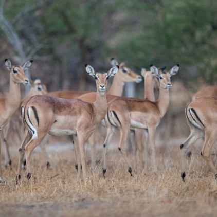 Johnston's Impala, endemic to Niassa © Will Burrard-Lucas