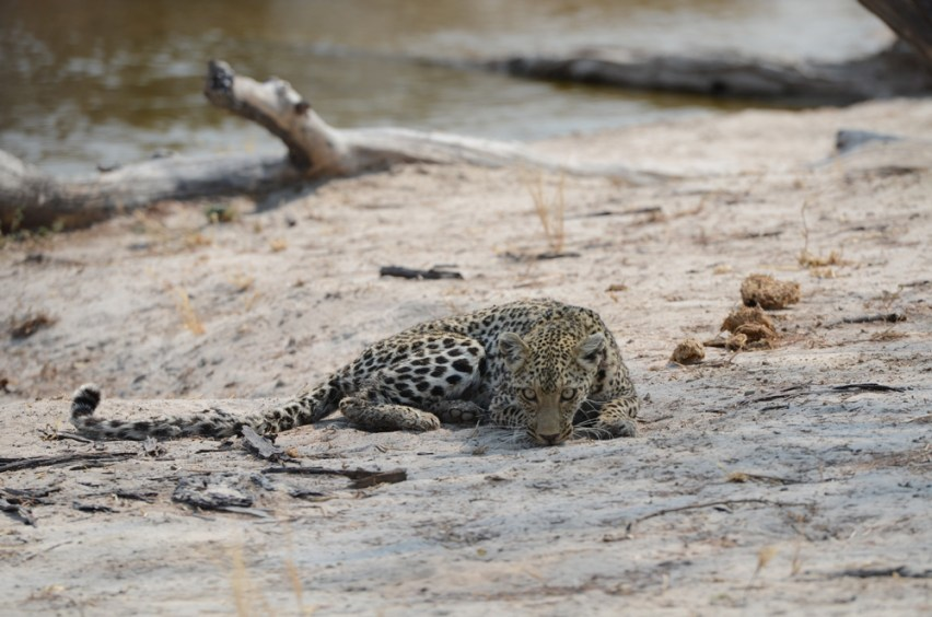 Young leopard at a borehole. Water for Elephants Trust, Botswana