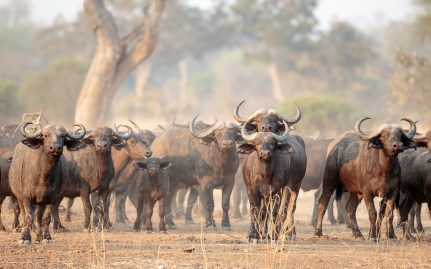 Huge herds of buffalo are common in South Luangwa © Edward Selfe