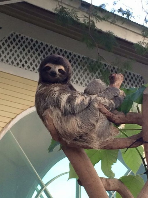 Coquito, a three toed sloth at The Asociacion Panamericana Para La Conservacion in Panama