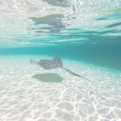 Swim with friendly wild stingrays at Honeymoon Harbor in Bimini