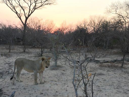 Sleep among lions on a budget South African Safari
