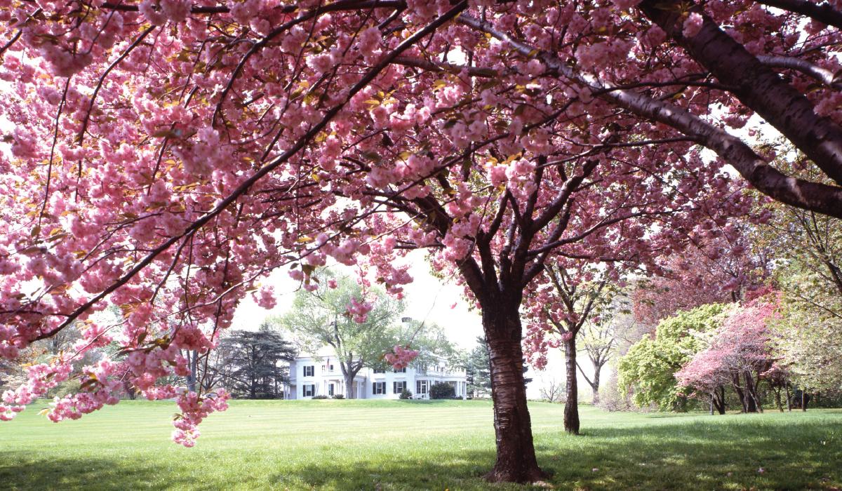 Fullsize Of Ornamental Cherry Tree