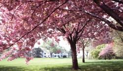 Small Of Ornamental Cherry Tree