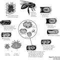 Varroa Destructor - Adapted from illustration by B. Alexander